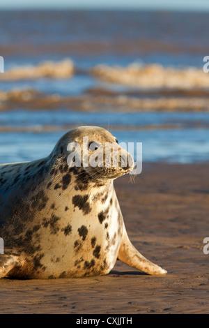 Grey Seal (Halichoerus grypus) on beach, Donna Nook, UK - Stock Photo