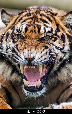 Tiger snarling - Stock Photo