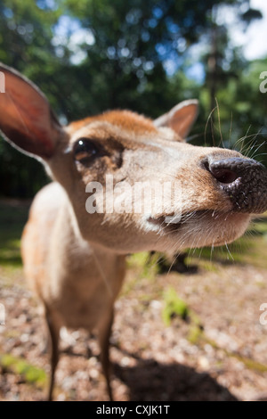Sika deer (Cervus nippon) closeup - Stock Photo