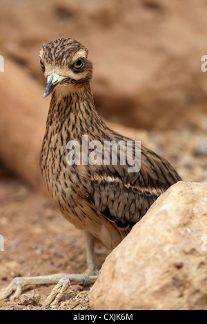 Great Roadrunner, (Geococcyx californianus), alert beside rock - Stock Photo