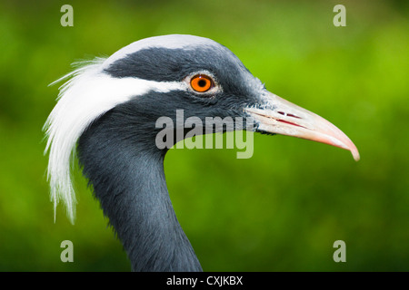 Crested Demoiselle Crane (Anthropoides virgo) portrait - Stock Photo
