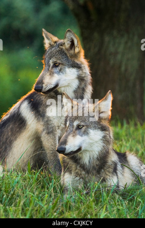Grey Wolf in the wild (Canis lupus) Indiana, USA - Stock Photo
