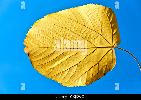 Bright yellow autumnal leaf on a blue sky - Stock Photo