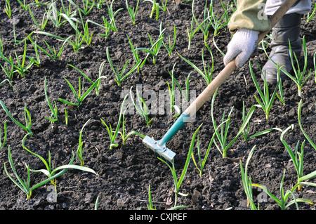 raking of garlic plantation - seasonal work in the vegetable garden - Stock Photo