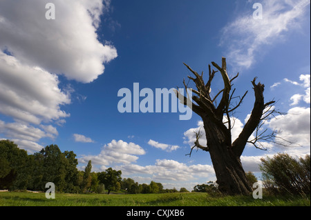 Dead White Willow Tree in Field, Primrose Hill, Hampstead Heath, London, England - Stock Photo