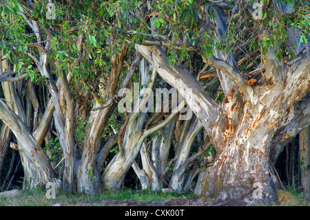 Colourful Snow Gums in the High Country. - Stock Photo