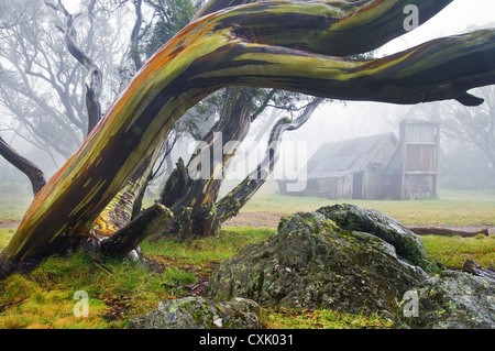 Wallaces Hut in mist nestled in a snow gum grove. - Stock Photo