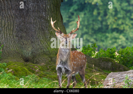Sika Deer (Cervus nippon) closeup in the wild - Stock Photo