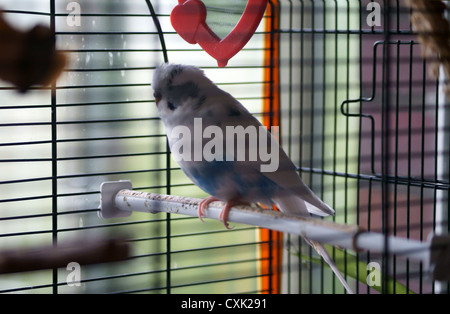 Budgie in the bird cage - Stock Photo