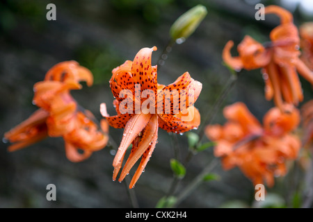 Orange spotted double Tiger Lily, Lilium lancifolium (tigrinum) 'Flore Pleno' - Stock Photo
