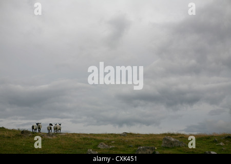 Five Suffolk sheep looking out on the horizon, cloudy day. - Stock Photo