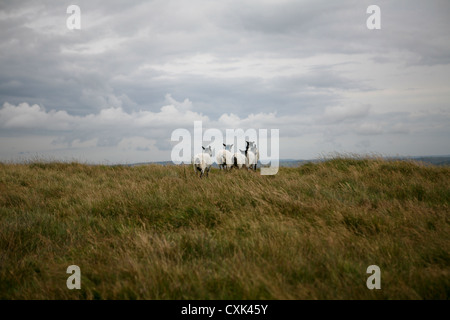A group of five Suffolk sheep wandering about on Dartmoor, looking over the horizon - Stock Photo