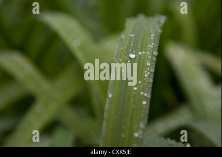 Water Drops on Plant, Freiburg, Baden-Wurttemberg, Germany - Stock Photo