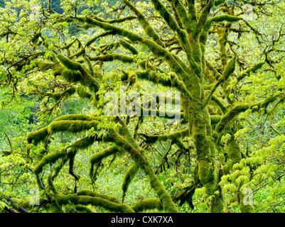 Big Leaf Maple tree with moss and new growth. Oregon coastal range. - Stock Photo