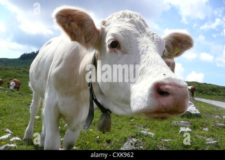 Cows on the pasture - Stock Photo