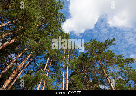 Tall pine trees in the forest against blue sky. - Stock Photo