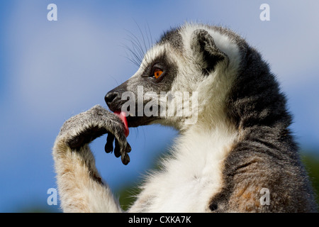 Close-up of a ring-tailed lemur (Lemur catta) licking its paw. Sunny blue sky and foliage background - Stock Photo