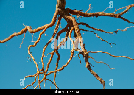exposed tree root system plant - Stock Photo