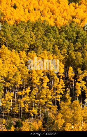 Aspen Trees fall colors - Stock Photo