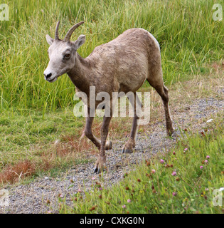 Young Rocky Mountain Bighorn Sheep ram in Kananaskis, Alberta - Stock Photo