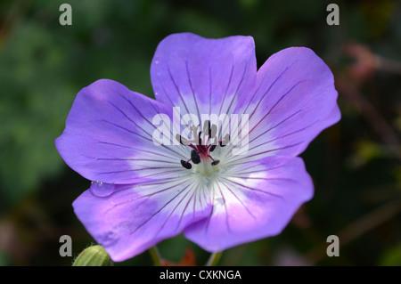 Geranium Rozanne flower - Stock Photo