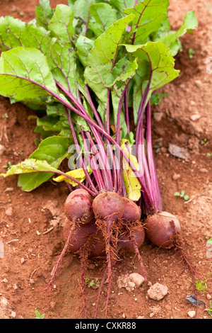 Beets with tops freshly pulled from the farm or garden. - Stock Photo