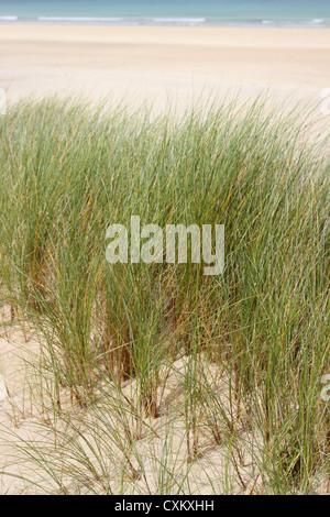 Marram Grass on sand dunes on Cornwall England UK - Stock Photo