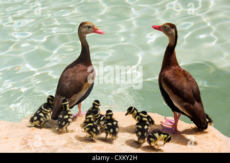 white-winged whistling duck - Stock Photo