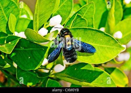 carpenter bee,Xylocopa violacea L. on lemon flower - Stock Photo