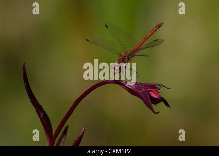 A male common darter dragonfly sympetrum striolatum, landing on a lobelia - Stock Photo