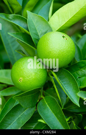 Unripe green oranges hanging on a branch - Stock Photo