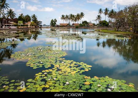 Lotus water lilies growing in the lagoon at Candi Dasa, Eastern Bali, Indonesia. - Stock Photo