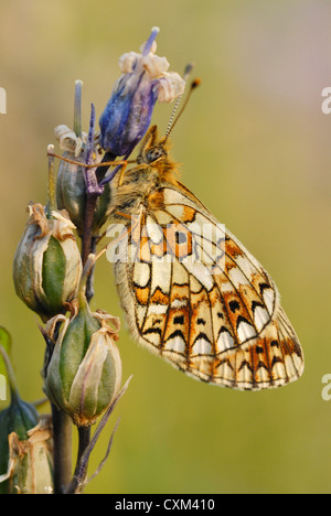 Small Pearl-bordered Fritillary (Boloria selene) on a bluebell seed head - Stock Photo
