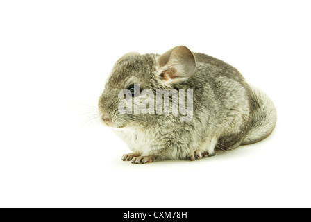 gray chinchilla isolated on white - Stock Photo