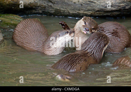 Female Asian Short Clawed Otter(s) - Stock Photo