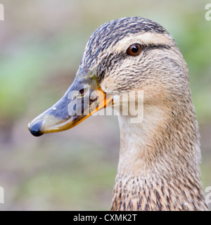 Close-up of a female mallard duck (Anas platyrhynchos), side oblique view of head - Stock Photo