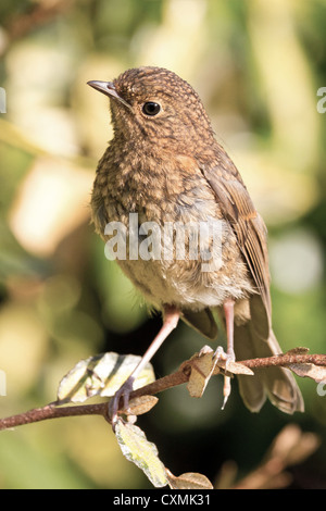 Juvenile robin (erithacus rubecula) perched on a twig, against a soft-focus yellow green foliage background - Stock Photo