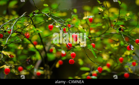 Red berries on a bush - Stock Photo