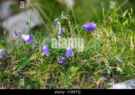 Alpine wildflower, Common Campanula or harebell (campanula rotundifolia) Photographed in Austria, Tyrol - Stock Photo