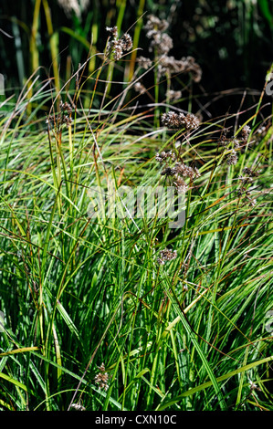 luzula nivea lucius Snowy lesser Wood Rush leaves foliage ornamental grass grasses - Stock Photo