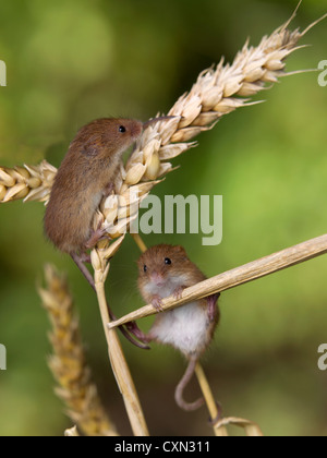 Eurasian harvest mice on wheat ear - Stock Photo