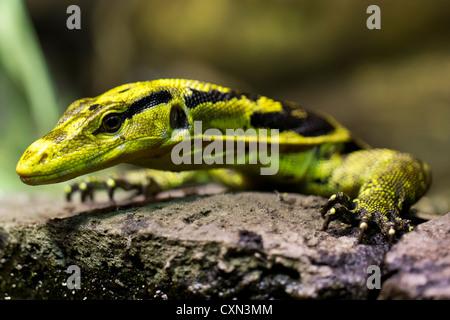 Yellow-headed Water Monitor (Varanus cumingi), or the Philippine Water Monitor lizard. - Stock Photo