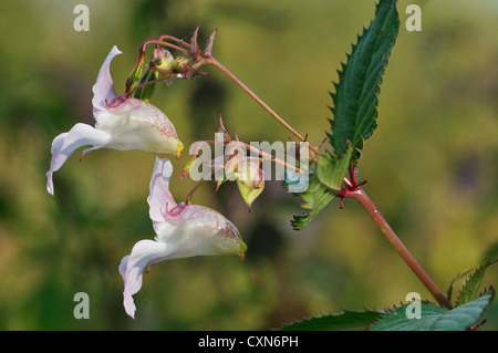 Himalayan Balsam - Impatiens glandulifera Invasive riverside plant, white form