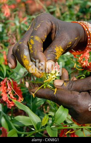 Gloriosa superba linn. (Medicinal plant) in Dharapuram,Tamil Nadu,India - Stock Photo