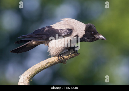 Hooded crow (Corvus cornix)  perched on a tree stump - Stock Photo