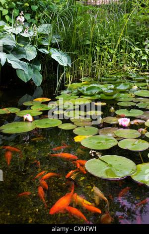 Goldfish (Carassius auratus auratus) swimming in garden pond with water lilies - Stock Photo