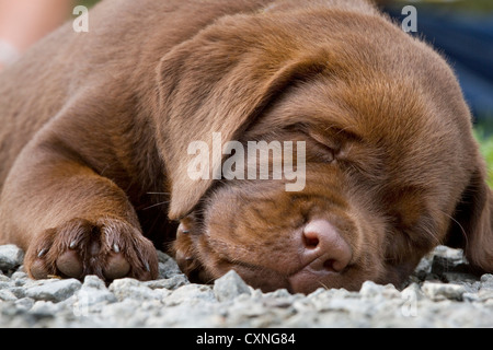 Labrador (Canis lupus familiaris) pup sleeping in garden - Stock Photo