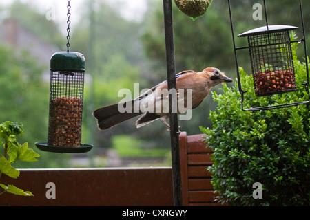 Eurasian Jay (Garrulus glandarius) eating peanuts from bird feeder in garden in the rain - Stock Photo