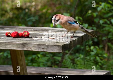 Eurasian Jay (Garrulus glandarius) stealing food from garden table - Stock Photo