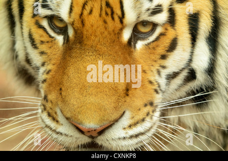 Closeup head portrait of Siberian Tiger - Stock Photo